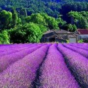 Lavender southern France
